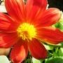 Dahlia (Dahlia x hortensis)