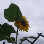 Sunflower grown from seed