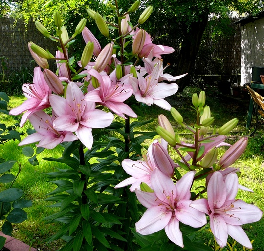 Lots more flowers on the big pink lily. (Lilium vivaldi)