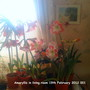 Amaryllis_in_living_room_19_02_2012_001
