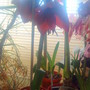Amaryllis_pure_red_just_opening_in_living_room_19_02_2012_004