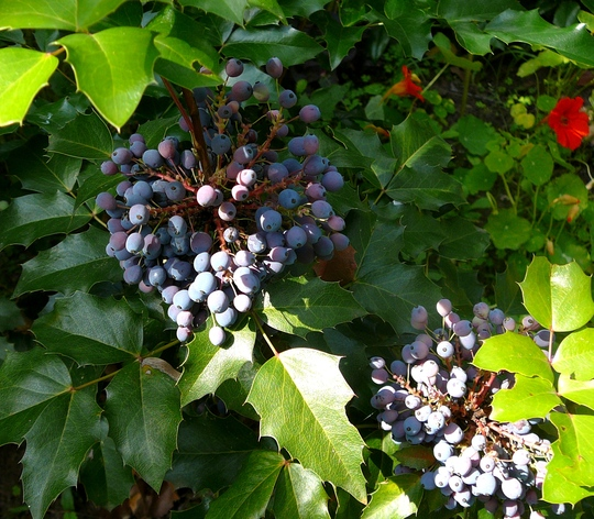 Berries on the Mahonia. (Mahonia aquifolium (Oregon grape))