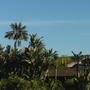 Howea fosteriana  - Kentia Palm, Strelitzia nicolai - Giant Bird-of-Paradise (Howea fosteriana  - Kentia Palm, Strelitzia nicolai - Giant Bird-of-Paradise)