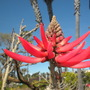 Erythrina coralloides - Naked Coral Tree (Erythrina coralloides - Naked Coral Tree)