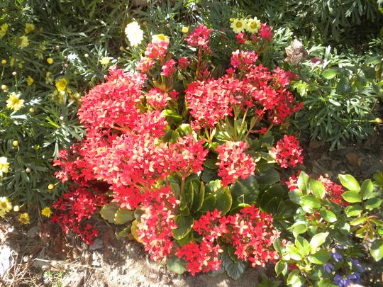 Kalanchoe blossfeldiana  - Kalanchoe (Kalanchoe blossfeldiana  - Kalanchoe)