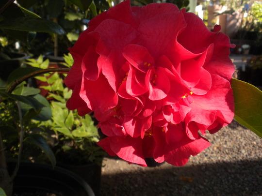 Camellia 'Dr. Clifford Parks' (Camellia 'Dr. Clifford Parks')