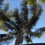 Howea fosteriana  - Kentia Palm (Howea fosteriana  - Kentia Palm)