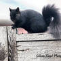 Black squirrel looking guilty.