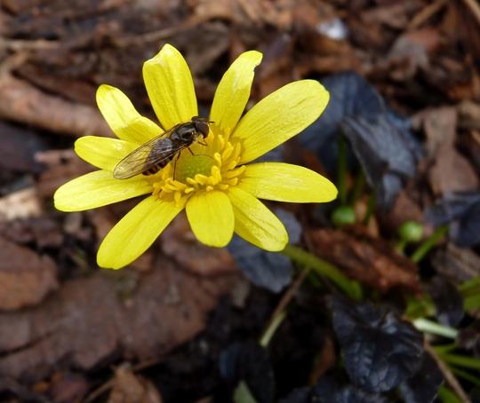 Ranunculus ficaria 'brazen hussy' (Ranunculus ficaria 'Brazen Hussy')