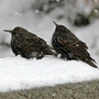 Starlings not impressed with the snow in the birdbath.