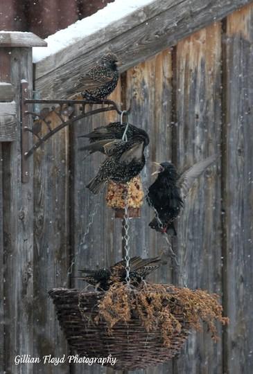 Starlings being starlings.