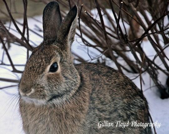 Our friendly garden rabbit.