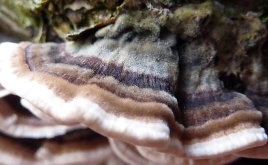 """TOXIC:  Trametes hirsuta     Fungal """"fur cape !"""""""