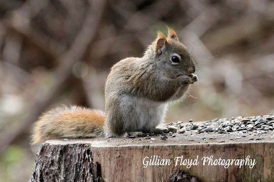 Squirrel-chipmunk cross