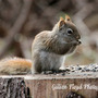 Squirrel-chipmunk cross