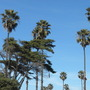 San Elijo Beach Palms (Washingtonia robusta (Mexican Fan Palm))