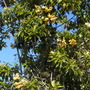 Hymenosporum flavum - Sweet Shade Tree (Hymenosporum flavum - Sweet Shade Tree)