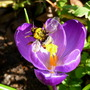Crocus_and_bee