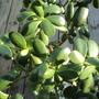 Close up of Money Tree