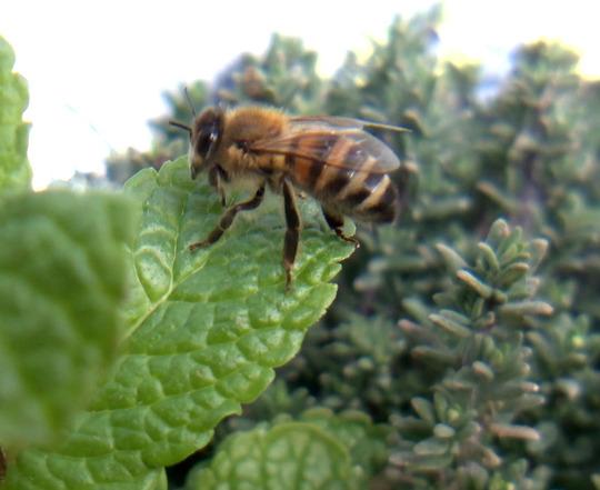 Bee on mint leaf