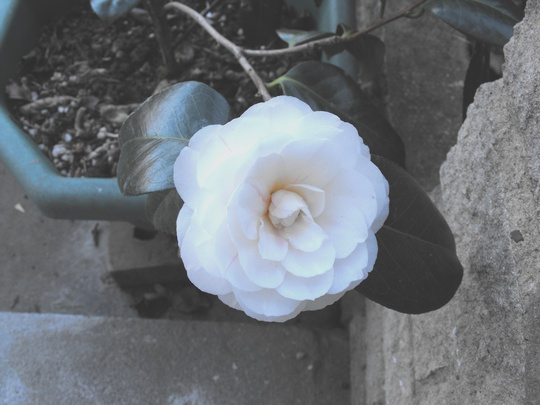 Camellia's 1st bloom...........