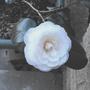 Camellia's 1st bloom...........