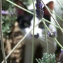 peeping through the lavender