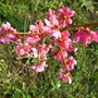 Prunus mume 'ben chidori'