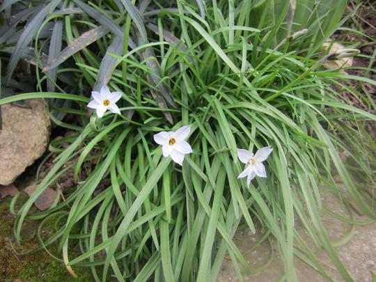 White spring flower (Ipheion uniflorum (Ipheion))