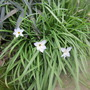 White spring flower (Ipheion uniflorum (Ipheion))