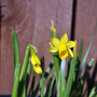 hooray! (Narcissus)