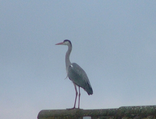 Heron on rooftop