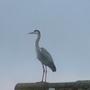 Heron on rooftop
