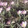 Crocus_tommasinianus_whitewell_purple_2012