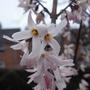 Abeliophyllum_distichum_close_up_2012