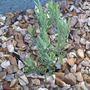 Lavender (Stoechas Fathead)