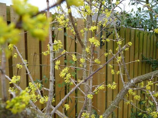 Cornus Mas is now in full bloom. (Cornus Mas)