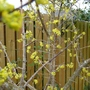 Cornus Mas is now in full bloom. (Cornus mas (Cornelian cherry))