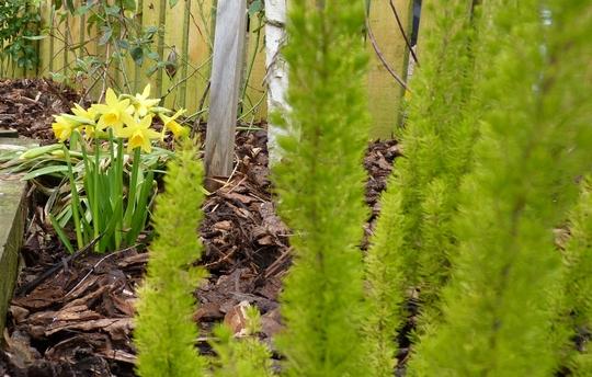Erica Arborea 'Albert's Gold' with narcissus Tete a Tete. (Erica arborea)