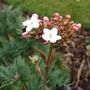 First flower on Viburnum Burkwoodii