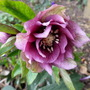 Helleborus_double_queen_mixed
