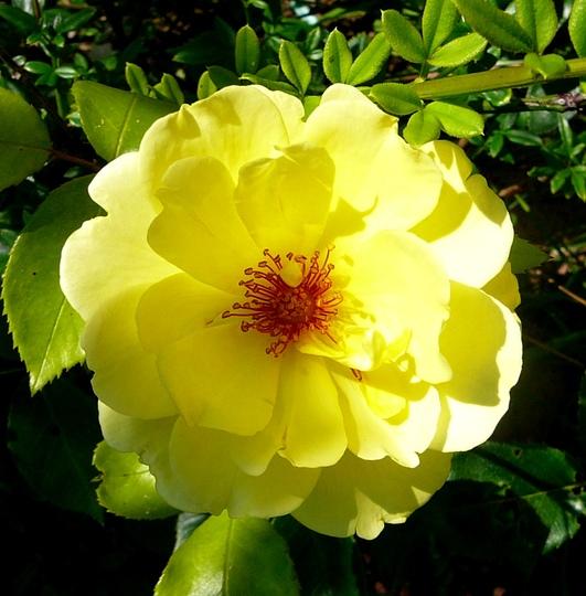 Yellow climbing rose (Rosa)