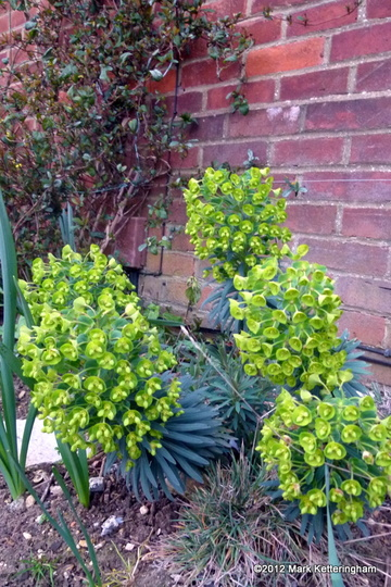 Euphorbia wulfenii 'Lambrook Gold' (Euphorbia characias subsp wulfenii)