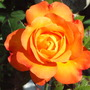 Jackie_s_Garden_Picture_s__19th_June_08_018.jpg (Rosa)
