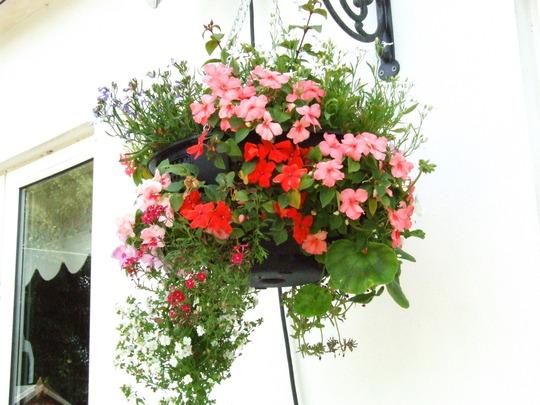 Jackie_s_Garden_Picture_s__19th_June_08_040.jpg (Geranium)