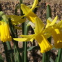 february gold (Narcissus)