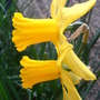first daffs to flower (Narcissus)