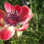 soft red anemone (Anemone coronaria (Poppy anemone))