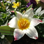 Tulip_johann_strauss