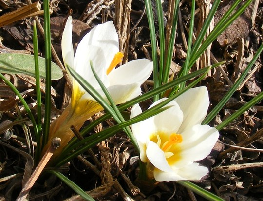 March 1st brings the first crocus (Crocus chrysanthus (Crocus) (snow bunting))